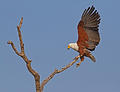 African Fish Eagle photographed taken at Transport Dam