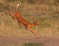 Impala jump taken near Berg en dal Camp
