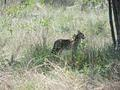 Serval near the Transport Dam and T juction
