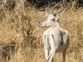 Picture fo white impala taken outside Limpopo forest Tented Camp