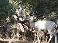 Picture of white impala taken outside Limpopo forest Tented Camp
