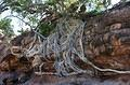 Mapungubwe tree root system Leokwe Camp – March 2013 by Peter Cole