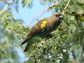Mapungubwe  Meyer's Parrot  at the Tree top Boardwalk