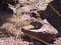Rock Elephant Shrew - The Towers - Marakele NP
