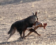Brown hyena carrying the hindquarters of a cheetah, by Jean Paul Acquaviva