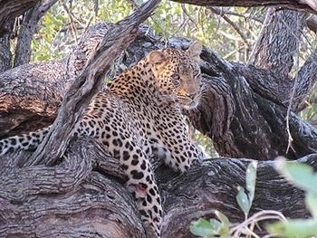 Leopard taken near Lower Sabie