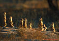 Suricate Family Group