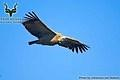 Marakele - Bird - Cape Vulture