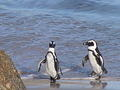 African Penguins, Boulders, Table Mountain National Park