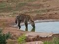Hyena drinking water taken at Marion's Waterhole in Addo by Susanne Kruger