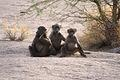 Augrabies baboons