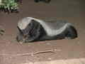 Honey Badger raiding dustbins in Satara Camp