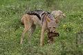 Jackal with leftovers of a kill taken on S39