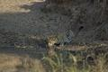 Leopard drinking water on H1-1