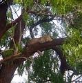 Leopard in a tree in Kruger National Park, by Lawrence Kuznetz and Angela Bedford