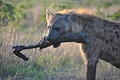 Hyena with bone in his mouth running taken on H10 just outside Lower Sabie