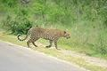 Leopard taken 2 kilometers from the Phabeni gate