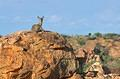 Mapungubwe Klipspringers on rock by Leokwe Camp – March 2013 by Peter Cole