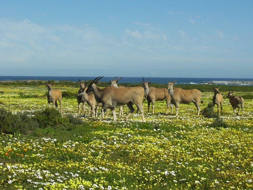 Image result for eland buck at Koeberg Nature reserve